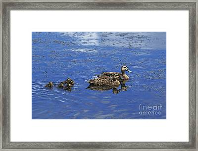 Pacific Black Duck Anas Superciliosa Framed Print by Gerard Lacz