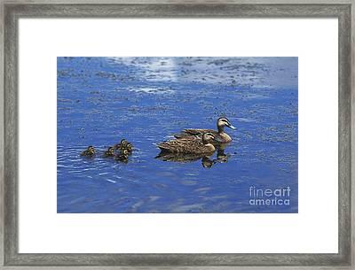 Pacific Black Duck Anas Superciliosa Framed Print