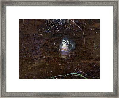 Framed Print featuring the photograph Pacific Black Duckling by Miroslava Jurcik