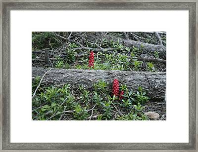 Pacific Crest Trail Flora Framed Print by Suzanne Lorenz