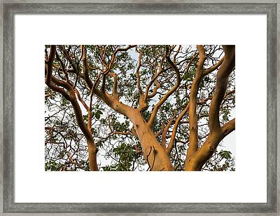 Pacific Madrone Trees Framed Print