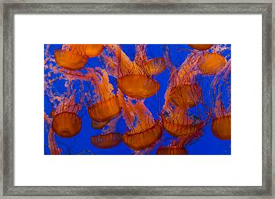 Pacific Sea Nettle Cluster 1 Framed Print by Scott Campbell
