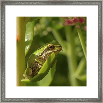 Pacific Tree Frog Framed Print
