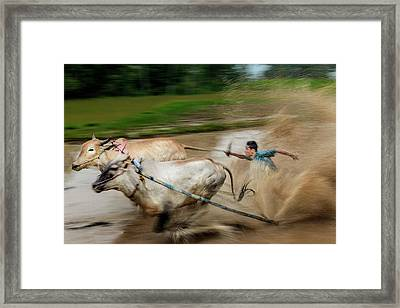 Framed Print featuring the photograph Pacu Jawi Bull Race Festival by Pradeep Raja Prints