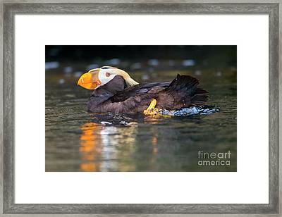 Paddling Puffin Framed Print