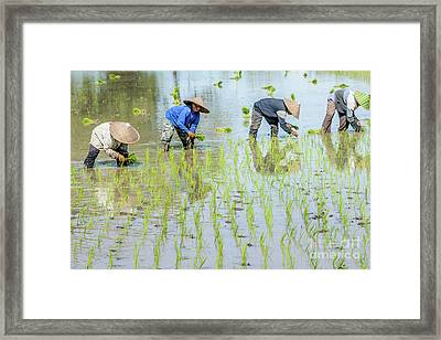 Paddy Field 1 Framed Print by Werner Padarin