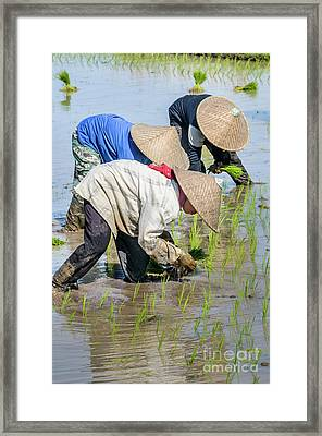 Paddy Field 2 Framed Print by Werner Padarin