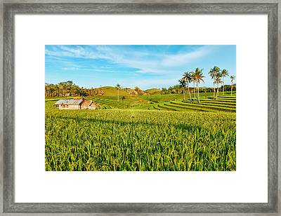 Paddy Rice  Framed Print by MotHaiBaPhoto Prints
