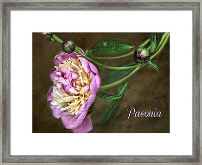 Paeonia Greeting Card Framed Print by CJ Anderson
