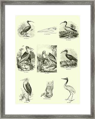 Page From The Pictorial Museum Of Animated Nature  Framed Print