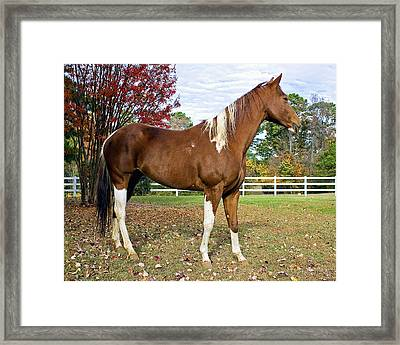 Framed Print featuring the photograph Paint Horse by Alan Raasch