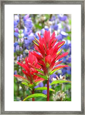 Paintbrush And Lupine Framed Print