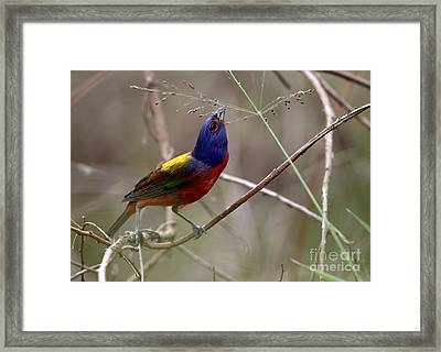 Painted Bunting Bird Framed Print by Davids Digits