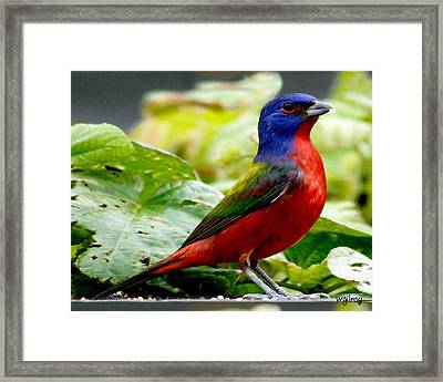 Painted Bunting Framed Print by W Gilroy