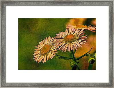 Painted Daisies 2 Framed Print