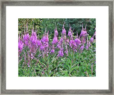 Painted Fireweed Framed Print