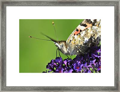 Painted Lady On Buddleia Close Up Framed Print