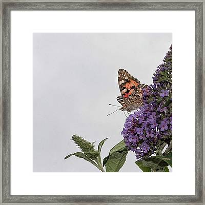 Painted Lady (vanessa Cardui) Framed Print by John Edwards