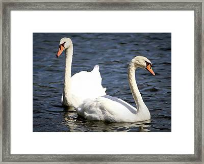 Painted Mute Swans Of Lake Junaluska North Carolina II Framed Print