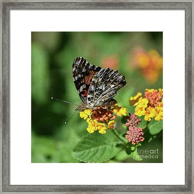 Painted, Painted Lady Framed Print