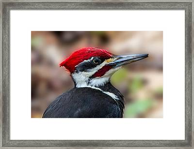 Framed Print featuring the painting Painted Pileated Woodpecker by John Haldane