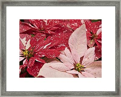Painted Poinsettias Framed Print by Michael Peychich