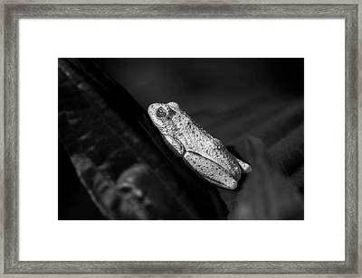 Frog Print Painted Reed Frog In Black And White Framed Print by Rick Budai