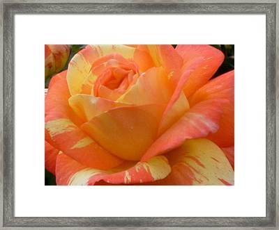 Painted Rose Framed Print