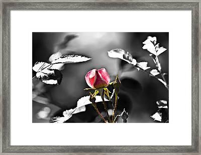 Painted Rosebud Framed Print by Michael Whitaker