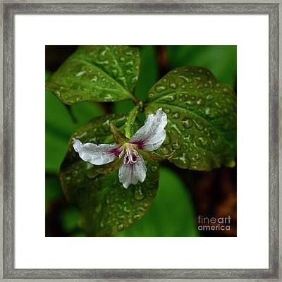 Painted Trillium In The Rain Framed Print by Thomas R Fletcher