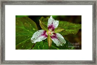 Painted Trillium With Raindrops Framed Print by Thomas R Fletcher