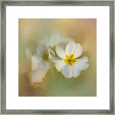 Painterly Primrose Framed Print by David and Carol Kelly