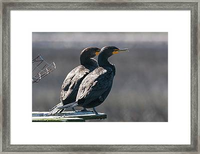 Pair Double-crested Cormorant 3 March 2018 Framed Print