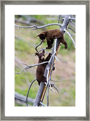 Pair Of Bear Cubs In A Tree Framed Print