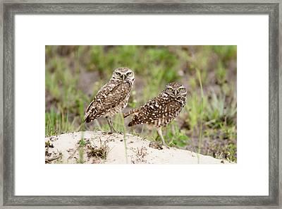 Pair Of Burrowing Owls Framed Print