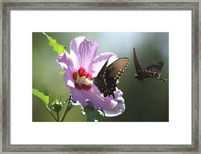 Framed Print featuring the photograph Pair Of Butterflies by Rick Friedle