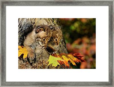 Pair Of Cautious Bobcat Kittens Looking Out From The Hollow Of A Framed Print by Reimar Gaertner
