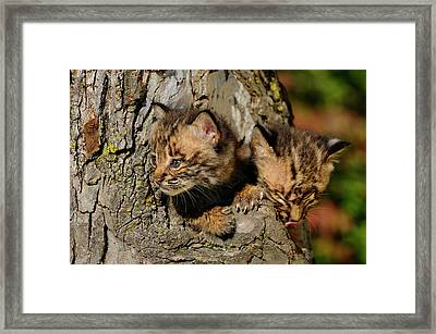 Pair Of Curious Bobcat Kittens Peeking Out From The Hollow Of A  Framed Print by Reimar Gaertner