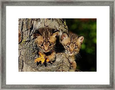 Pair Of Cute Bobcat Kittens Peeking Out From The Hollow Of A Tre Framed Print by Reimar Gaertner