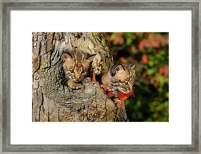Pair Of Frightened Bobcat Kittens Peeking Out From The Hollow Of Framed Print by Reimar Gaertner