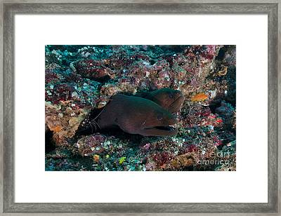 Pair Of Giant Moray Eels In Hole Framed Print by Mathieu Meur