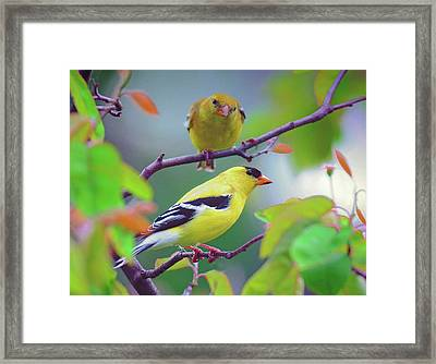 Pair Of Goldfinches Framed Print