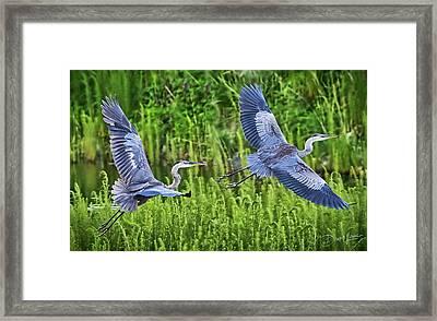 Pair Of Great Blue Herons  Framed Print