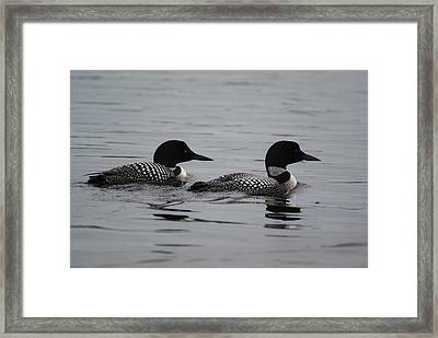 Pair Of Loons Framed Print by Steven Clipperton