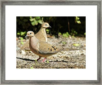 Pair Of Mourning Doves On Ground Framed Print by Jill Nightingale