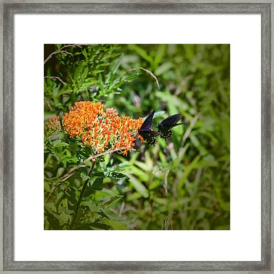 Pair Of Red-spotted Purple Butterflies Framed Print