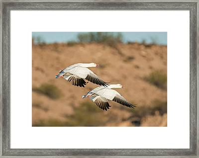 Pair Of Snow Geese In Flight Framed Print by Loree Johnson