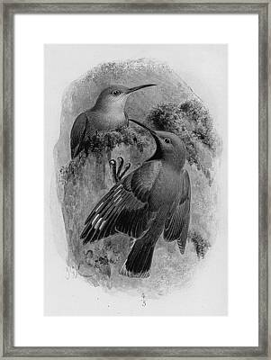 Pair Of Wallcreepers  Framed Print by Johan Gerard Keulemans