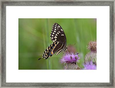 Palamedes Swallowtail And Friends Framed Print