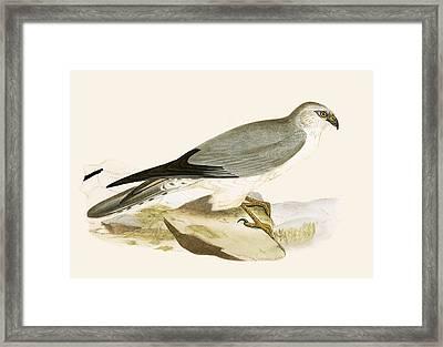 Pale Chested Harrier Framed Print